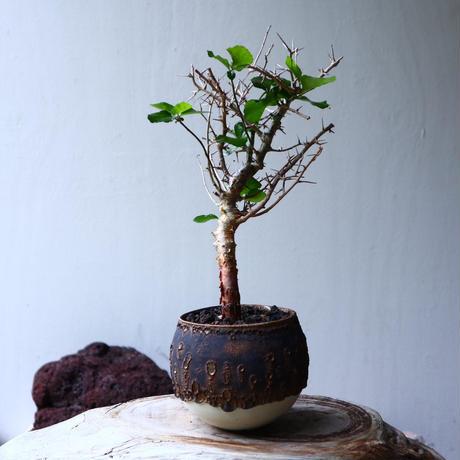 コミフォラ   シンプリキフォリア   Commiphora simplicifolia    no.71405
