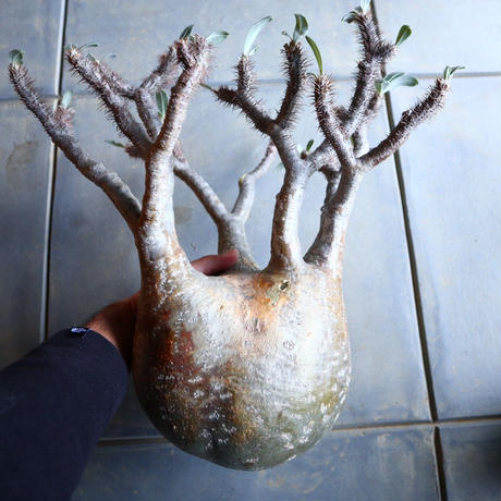 パキポディウム グラキリス   Pachypodium rosulatum var. gracilius no.110342