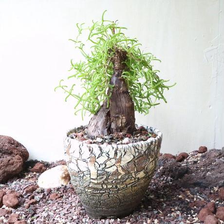 メストクレマ  ツベローサム   no.003  Mestoklema  tuberosa