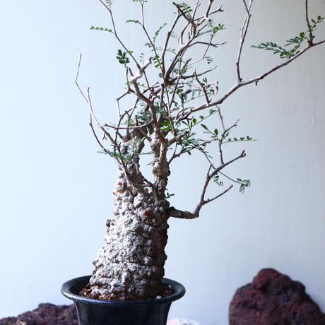 オペルクリカリア  パキプス   Operculicarya  pachypus   no.025