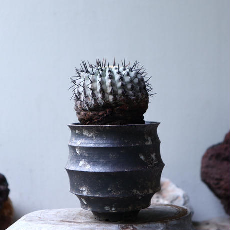 コピアポア 孤竜丸    Copiapoa cinerea var. columna-alba   no.90130