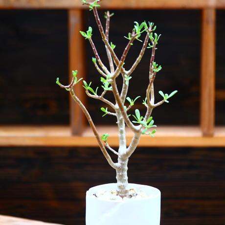 オトンナ  アルブスクラ/Othonna arbuscula    no.91251
