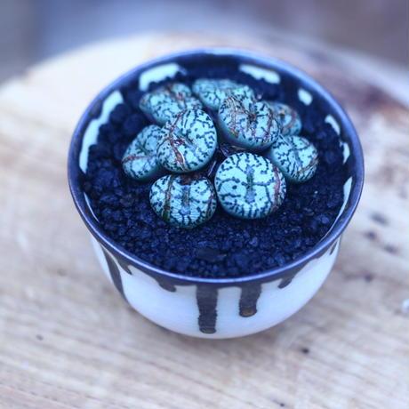 コノフィツム  ウルスプルンギアヌム   Conophytum ursprungianum      no.31416