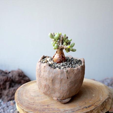 ケラリア  ピグマエア  no.023    Ceraria pygmaea
