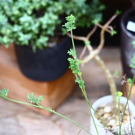 ペラルゴニウム カルノーサム/Pelargonium carnosum  no.91243