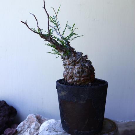 オペルクリカリア  パキプス   Operculicarya  pachypus   no.60225