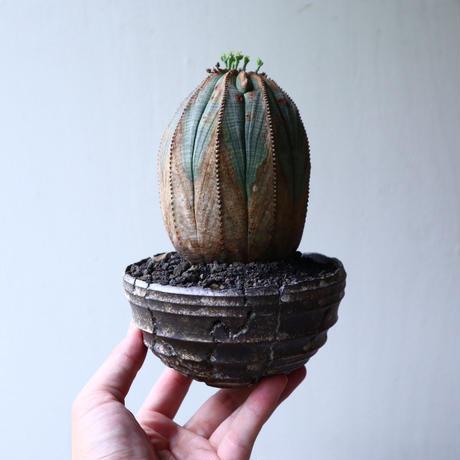 ユーフォルビア  オベサ ♀ Euphorbia obesa no.90117