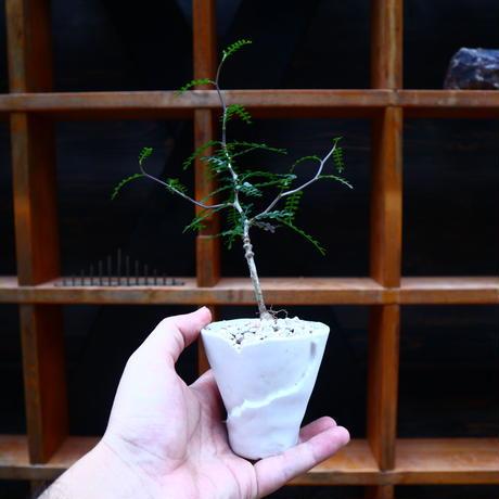 オペルクリカリア パキプス 実生/Operculicarya pachypus  no.71826