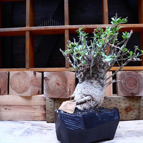 フォークイエリア  コルムナリス  観峰玉 Fouquieria columnaris   no.60647