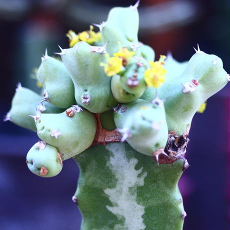 ユーフォルビア  クリビコラ  接木 Euphorbia clivicola   no.32104