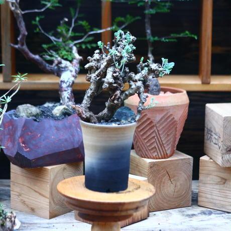 ぺラルゴ二ウム   エキナツム/Pelargonium  lechinatum   no.101019