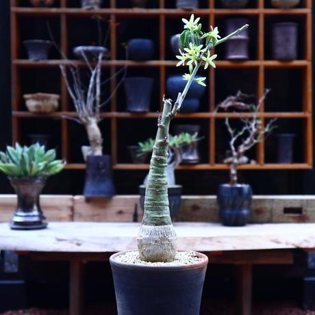 アデニア  グラウカ/Adenia glauca    no.50209
