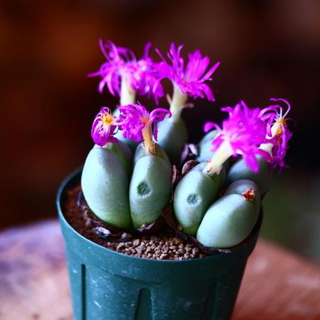 コノフィツム  紫苑  (紫花)   Conophytum 'Shien'    no.111559