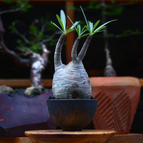 パキポディウム  グラキリス /Pachypodium  gracilius     no.101038
