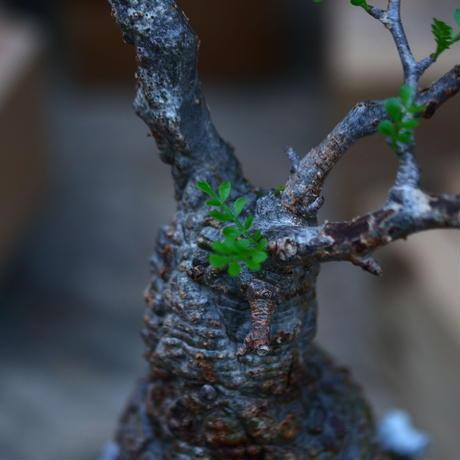 オペルクリカリア  パキプス/Operculicarya  pachypus     no.92602