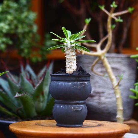 パキポディウム タッキー/Pachypodium'Tackyi'        no.91202