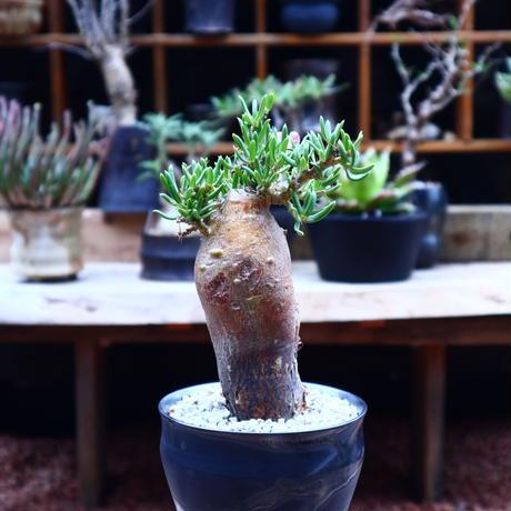 パキポディウム ビスピノーサム/Pachypodium bispinosum    no.50215