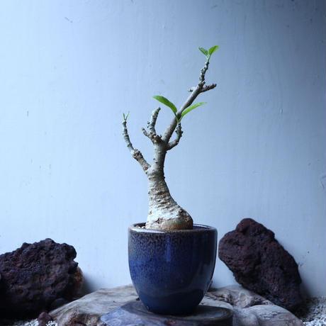 フォッケア  ムルチフローラ Fockea multiflora   no.91502