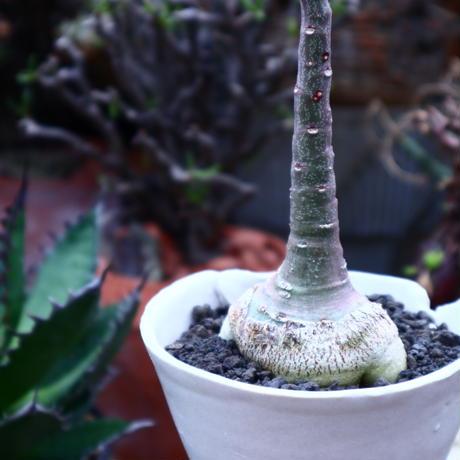 アデニア  グラウカ   Adenia glauca    no.42514