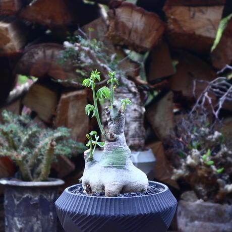 アデニア  グラウカ   Adenia glauca    no.41809