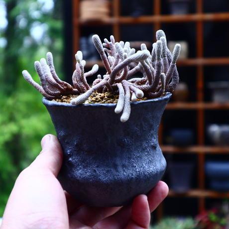 ツルビニカルプス ミニマ/Turbinicarpus minima   no.50239