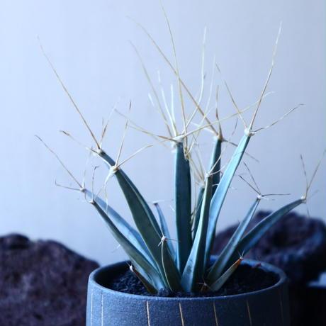 レウクテンベルギア  晃山    Leuchtenbergia principis  no.30104