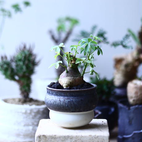 アデニア   グラウカ    Adenia glauca   no.90610