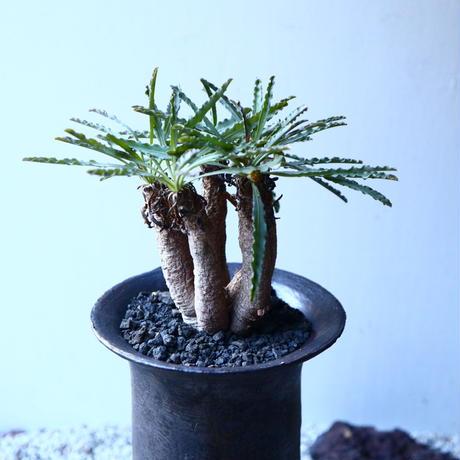 ユーフォルビア  クリスパ Euphorbia    crispa  no.21647