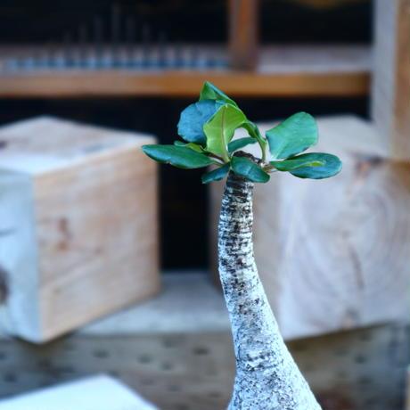 ユーフォルビア  ラメナ/Euphorbia ramena   no.80821