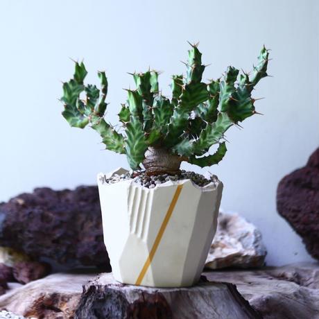 Euphorbia groenewaldii  no.009