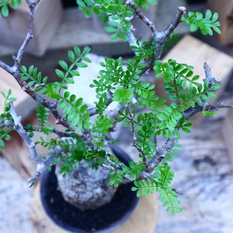 オペルクリカリア  パキプス/Operculicarya  pachypus     no.71805