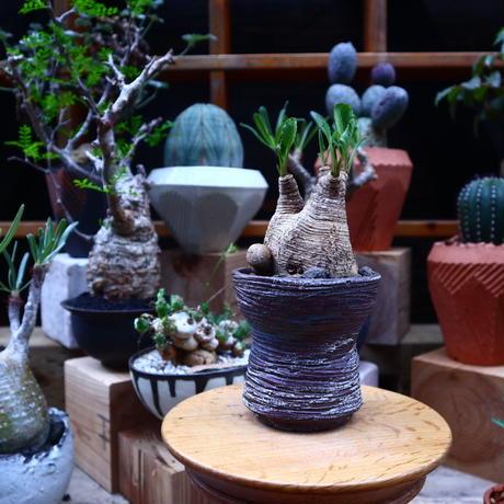 ユーフォルビア  旧フィッシュボーン/Euphorbia spannringii    no.71824