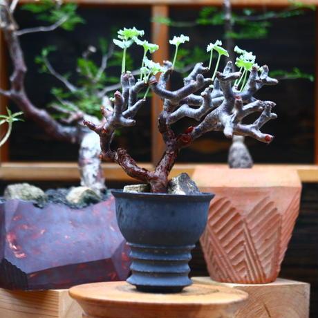 ペラルゴニム  ミラビレ/Pelargonium mirabile   no.101017