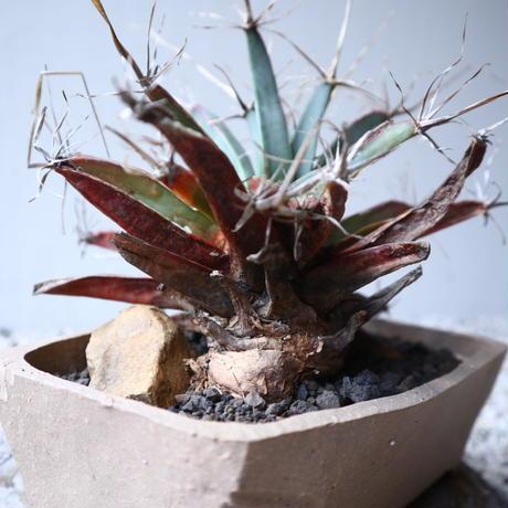 レウクテンベルギア  晃山    Leuchtenbergia principis  no.122209
