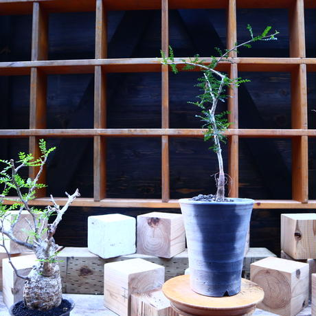 オペルクリカリア  デカリー実生/Operculicarya   decaryi  no.71806