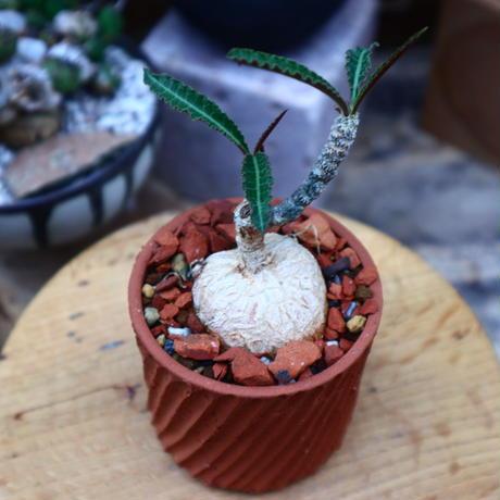 ユーフォルビア  ワリンギアエ/Euphorbia waringiae    no.71823