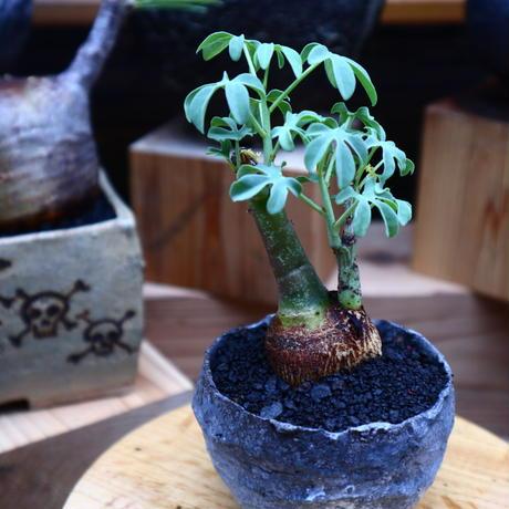 アデニア  グラウカ/Adenia glauca    no.52335