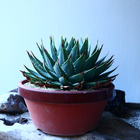 アロエ   ポリフィラ    Aloe polyphylla  no.30101