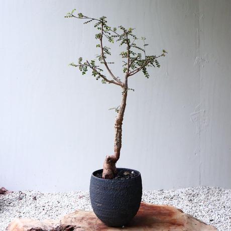 オペルクリカリア  デカリー  no.017  Operculicarya decaryi