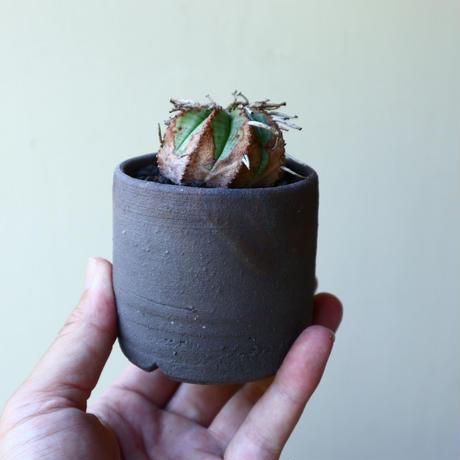 ユーフォルビア  バリダ  hyb   Euphorbia valida  hyb   no.60206