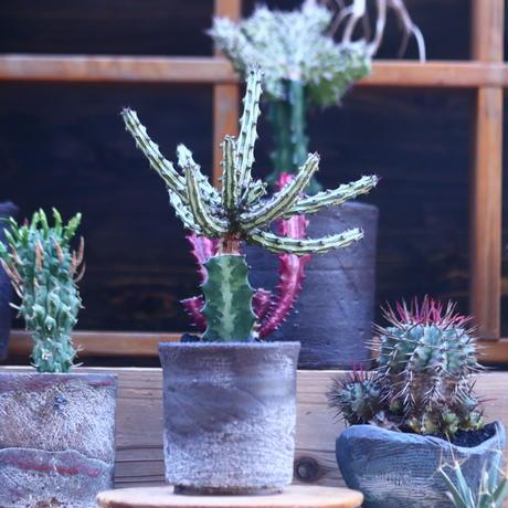 ユーフォルビア  シザカンサ   接木  Euphorbia schizacantha   no.32105
