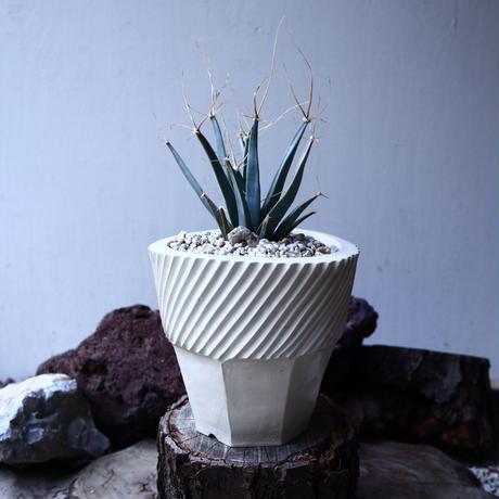 レウクテンベルギア  晃山    Leuchtenbergia principis  no.22310