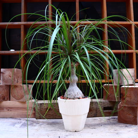 トックリラン/Beaucarnea recurvata   no.60650