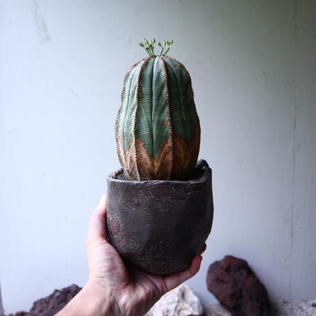 ユーフォルビア  オベサ  ♂ Euphorbia obesa no.90118