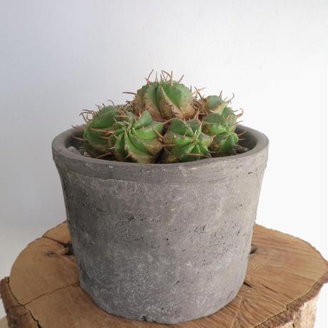 ユーフォルビア  プルビナータ  no.001  Euphorbia pulvinata