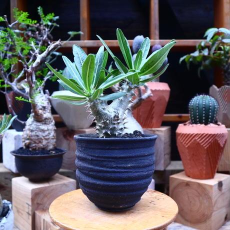 パキポディウム ロスラーツム  実生/Pachypodium rosulatum    no.71818