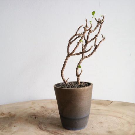 ペラルゴニウム   no.001  Pelargonium  peroplgton