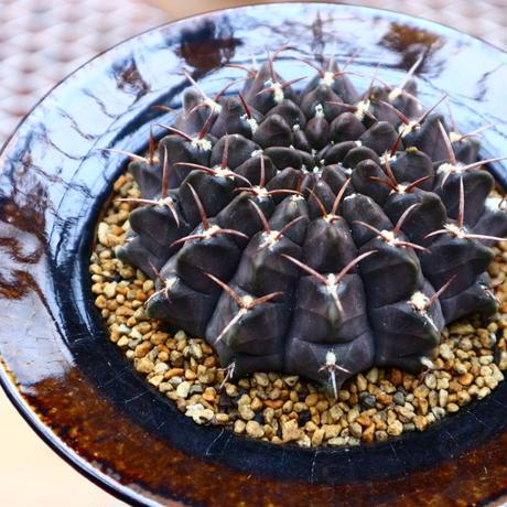 ギムノカリキウム   クネベリー/Gymnocalycium  knevelii  no.50222