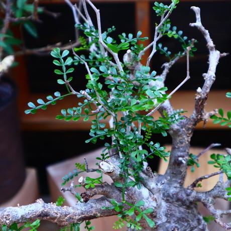 オペルクリカリア  パキプス/Operculicarya  pachypus     no.60643