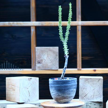 ケラリア ナマクエンシス/Ceraria namaquensis  no.82246